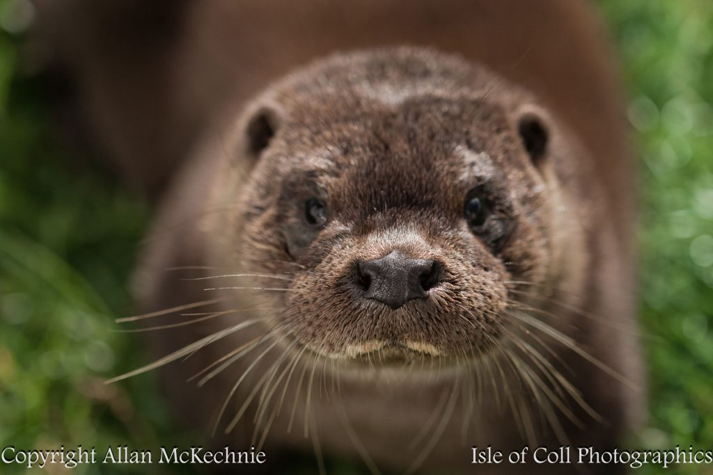 extreme-close-up-otter-isle-of-coll-012