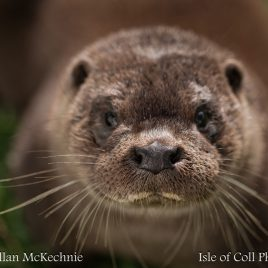'Extreme Close Up' Otter, Isle of Coll