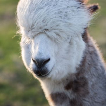 Meet the Isle of Coll Alpaca's