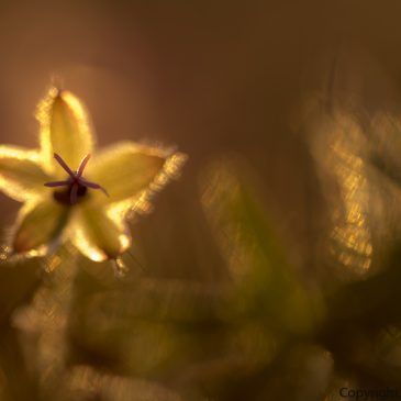 'Golden Backlight' How I took this beautiful image