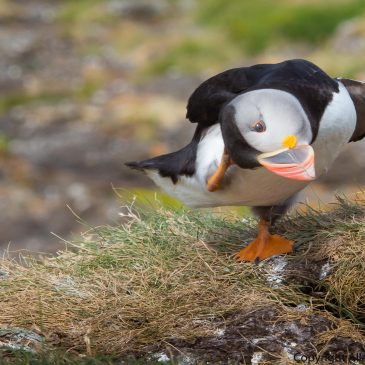 Puffin Island. Lunga, The Treshnish Isles.